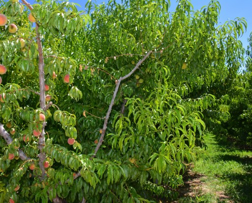 palisade peaches on the tree