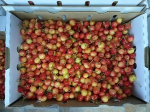 Rainier Cherries grown in Palisade, CO