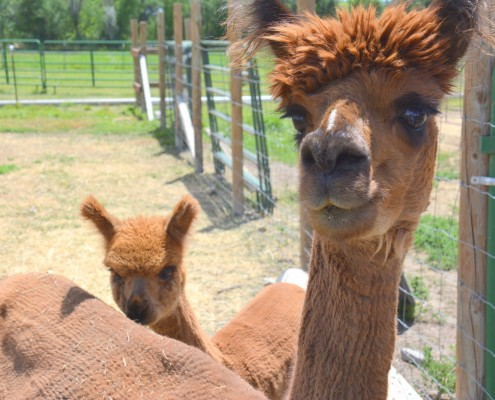 Palisade CO Alpaca Farms