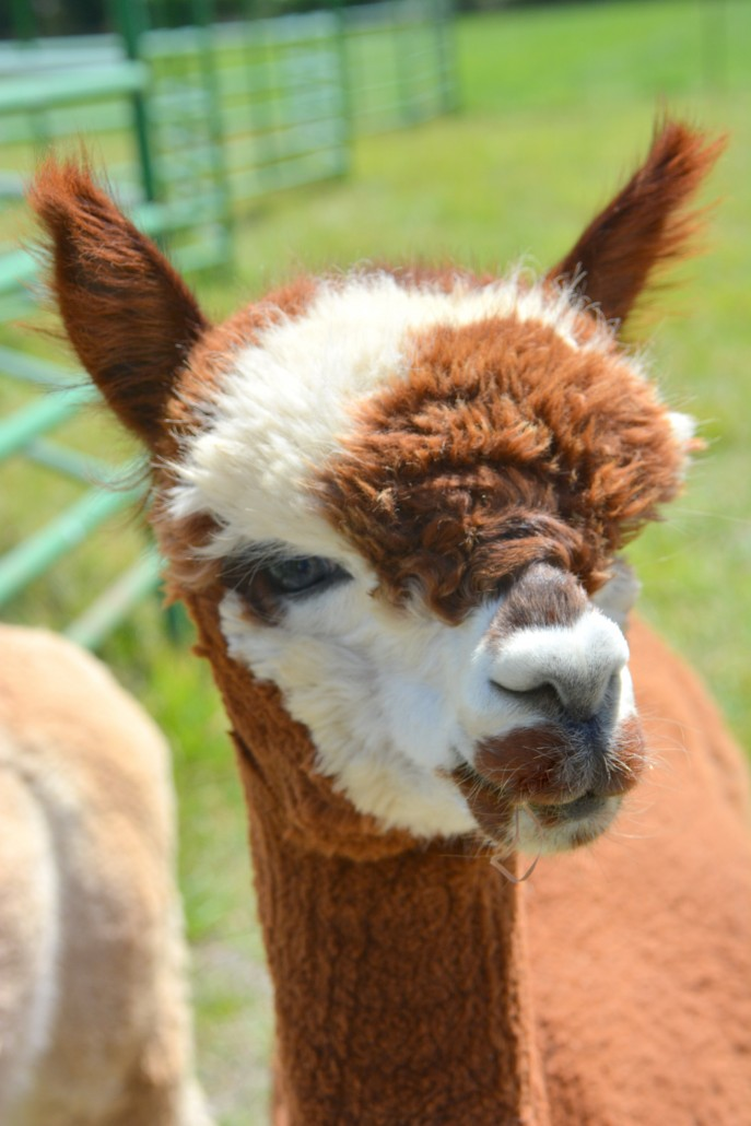 Alpaca farm in Palisade Colorado